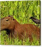 Capybara And Smooth Billed Ani Canvas Print