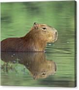 Capybara Wading Pantanal Brazil Canvas Print