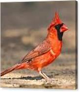 Cardinal - Male 1 Canvas Print