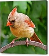 Cardinal 103 Canvas Print