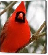 Cardinal 104 Canvas Print