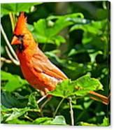 Cardinal 119 Canvas Print