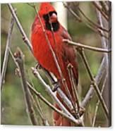 Cardinal 123 Canvas Print