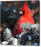 Cardinal And Evergreen Canvas Print