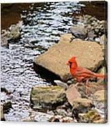 Cardinal By The Creek Canvas Print