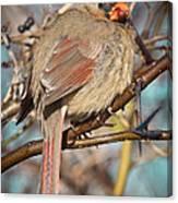 Cardinal Female Canvas Print