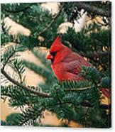 Cardinal In Balsam Canvas Print