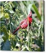 Cardinal In Bush I Canvas Print