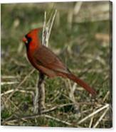 Cardinal In The Field Canvas Print