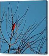 Cardinal Morning Canvas Print