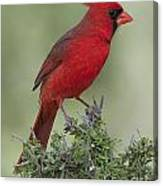 Cardinal On Tree Canvas Print
