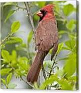 Cardinal Pictures 123 Canvas Print