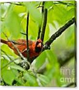 Cardinal Pictures 138 Canvas Print