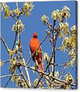 Cardinal Red Canvas Print