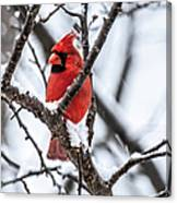 Cardinal Snow Scene Canvas Print