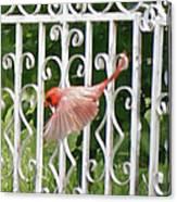 Cardinal Tail Up Landing Canvas Print