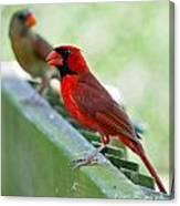 Cardinals Canvas Print
