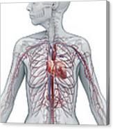 Cardiovascular System Female Canvas Print