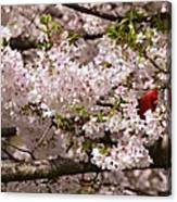 Cardnel In A Cherry Tree Canvas Print