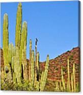 Cardon Cactus In Bahia Kino-sonora-mexico Canvas Print