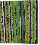 Cardon Cactus Texture. Canvas Print