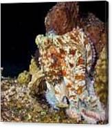 Caribbean Reef Octopus II Canvas Print