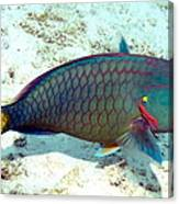 Caribbean Stoplight Parrot Fish In Rainbow Colors Canvas Print