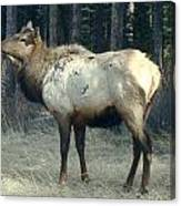 Elk Side Profile - Banff, Alberta Canvas Print