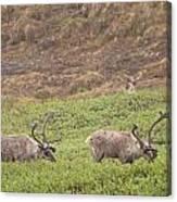 Caribou In The Rain Canvas Print