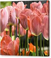 Caring Pink Tulip Time Canvas Print