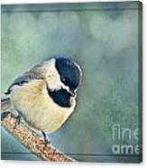 Carlina Chickadee With Soft Blue Bokeh Canvas Print