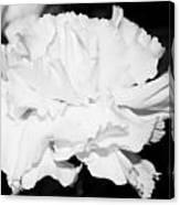 Carnation Against Black Canvas Print
