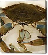 Carolina Blue Crab Canvas Print