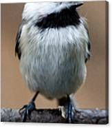 Carolina Chickadee Canvas Print