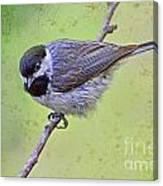 Carolina Chickadee On Angled Perch Canvas Print