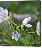 Carolina Spring Beauty - Wide-leaved Spring Beauty - Claytonia Caroliniana Canvas Print