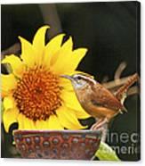 Carolina Wren And Sunflowers Canvas Print
