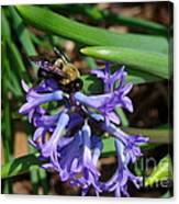 Carpenter On Hyacinth Canvas Print