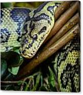 Carpet Python  Canvas Print
