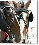 Carriage Horse - 4 Canvas Print