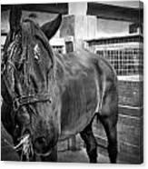Carriage Horse Canvas Print