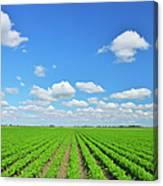 Carrot Field Canvas Print