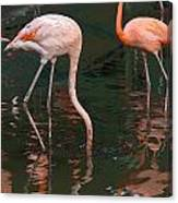 Cartoon - A Flamingo With Its Head Under Water In The Jurong Bird Park Canvas Print