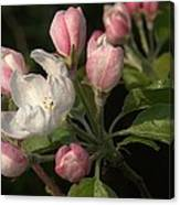 Cascade Of Apple Blossoms Canvas Print