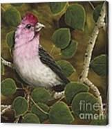 Cassins Finch Canvas Print