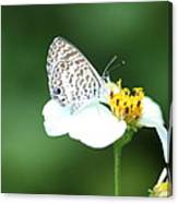 Cassius Blue On Wildflower Canvas Print