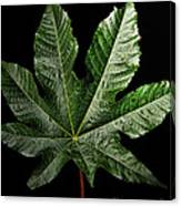 Castor Bean Leaf Canvas Print