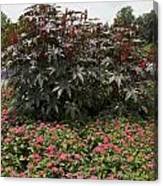 Castor Oil Plant Ricinus Communis Canvas Print