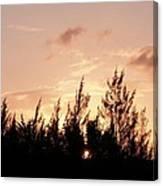 Casurina Sunset Canvas Print