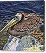 Catalina Pelican Canvas Print